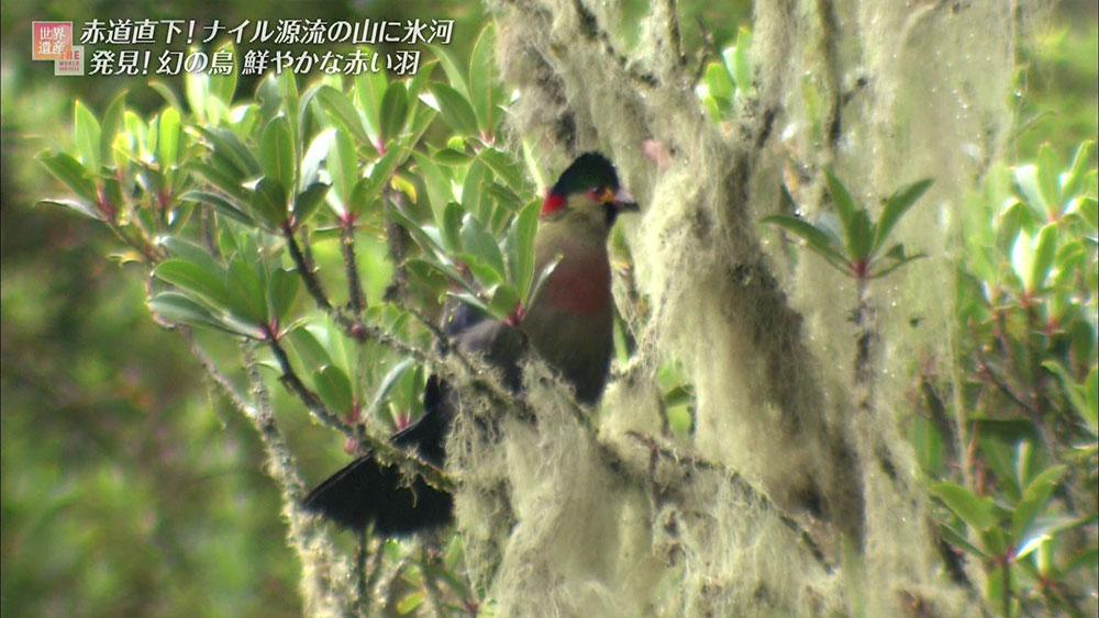 この鳥は「ルウェンゾリトラコ」といい、ルウェンゾリ固有種の動物です。 山に豊富にある木の実をエサにしており、この周辺でしか姿を見ることができません。