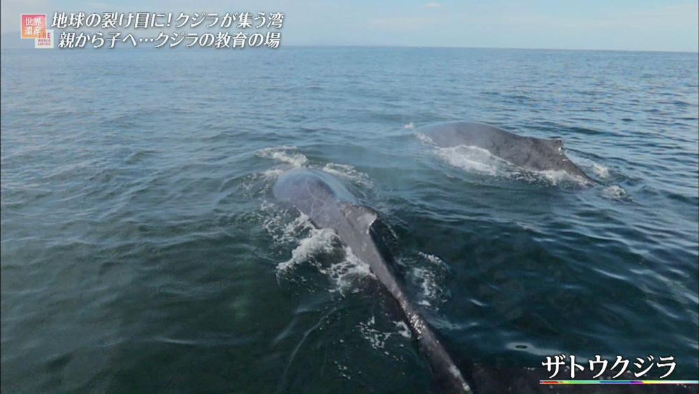 繁殖のためにカルフォルニア湾に戻ってくるザトウクジラ